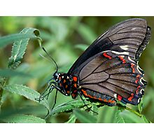 Zebra Longwing butterfly. Photographic Print