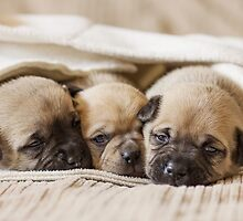 Pug Puppies by AndreaBorden