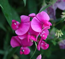 Sweet Pea by ronibgood