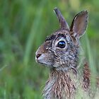 Wet Hare by Jim Cumming