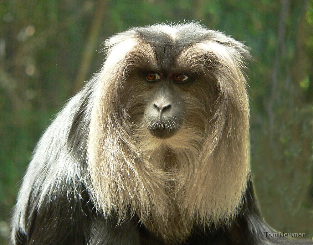 Lion-Tailed Macaque II by Tom Newman