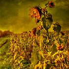 Fading Sunflowers by Dave Godden