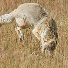 Coyote pounce 2 by Anthony Brewer