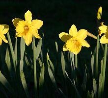 daffodils in bodega by rozziesbabe