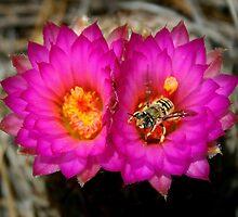 Bee on Hedgehog Cactus Blossom by Eagleye