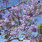 Jacaranda by simonescott