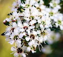 Tea tree flowers by ~ Fir Mamat ~