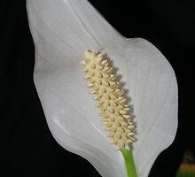 Peace Lilly by Eagleye