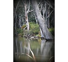 Ready to Fall, Old trees at Gunbower Photographic Print