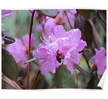Azaleas in the rain Poster