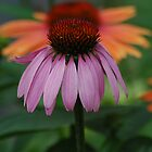 Coneflowers by KBSImages
