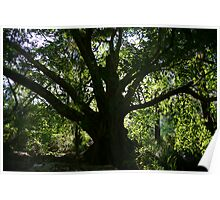 Middle Earth Tree, Ravenshoe Poster