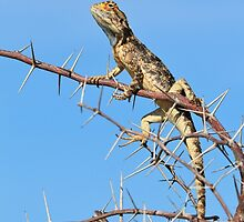 Spiny Agama - Lizard Blues of Fun by LivingWild