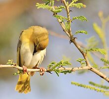 Yellow Masked Weaver - Taking a Rest by LivingWild