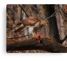 Red-Tailed Hawk with prey  Canvas Print