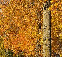 Maples of Kensington - Look up, way up by Rod Raglin