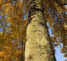 The Maples of Kensington - look up, way up by Rod Raglin