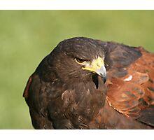 Harry the Hawk Photographic Print