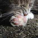 Tabby cat licking paw by turniptowers