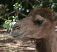 The Friendly Camel by satyrphotoworks