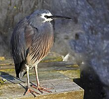 Blue Heron by Robyn Carter