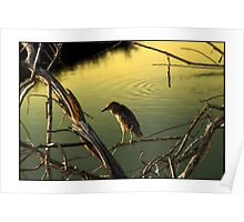 Black-Crested Night Heron Poster