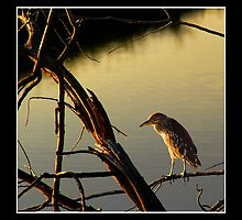 Immature Black-Crowned Night Heron by Ryan Houston