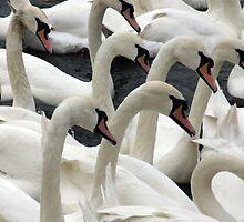 Synchronised swanning by spottydog06