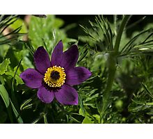 Deep Purple Easter Anemone Blossom Photographic Print