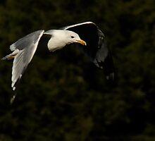 California Gull-Vivian Park-Provo Canyon by Ryan Houston