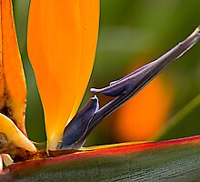 Bird of Paradise by Diane Blackford