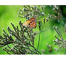 Butterflies V Photographic Print