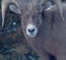 BIG HORN SHEEP by Leigh Karchner