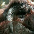 Orangutan by MissMarf