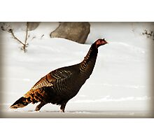 Wild Turkey After Snowstorm Photographic Print