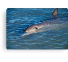 Dolphins Of Monkey Mia Canvas Print