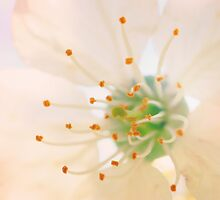 White Cherry Macro Photography - Vintage Effect by PassingEcho