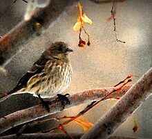 Female House Finch by Ryan Houston