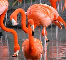 Flamingo by Nasif Hussain