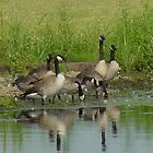 Gaggle of Geese by Jacob Hyers