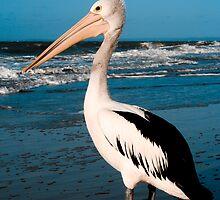 Proud Pelican by Marnie Hibbert