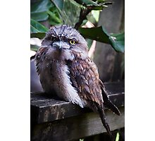 Tawny Frog Mouth Photographic Print