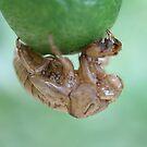 Cicada by SusanC