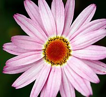 Daisy by ~ Fir Mamat ~
