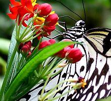 Madam Butterfly by Macky