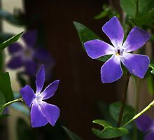 Vinca by WatscapePhoto