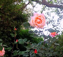 Salmon Pink Rose Blossoms by Sarah  Levinson