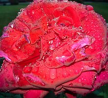RAINDROPS ON RED ROSE by JoAnnHayden