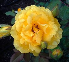 YELLOW ROSE AND RAINDROPS by JoAnnHayden