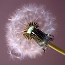 Dandy by jotography